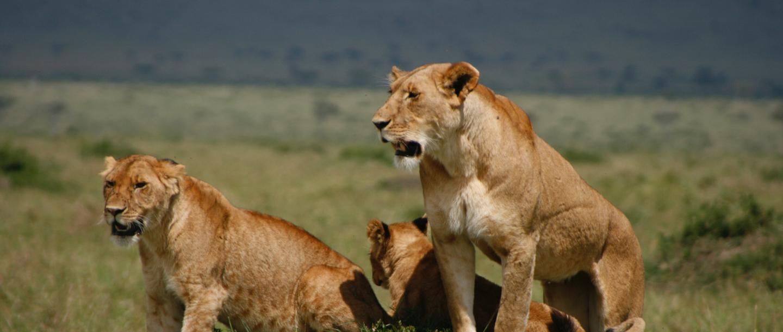 Lions at the Mahali Mzuri Game Viewing Safari in Kenya