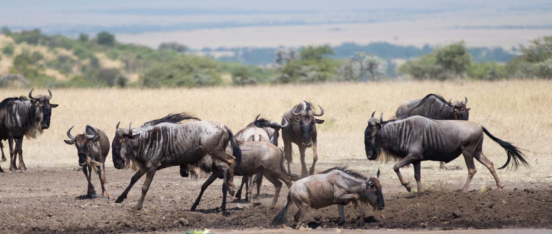 Water buffalo at the Mahali Mzuri Game Viewing Safari in Kenya