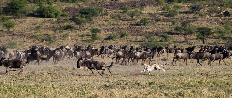 Water buffalo fleeing from a lion, Mahali Mzuri Game Viewing Safari in Kenya